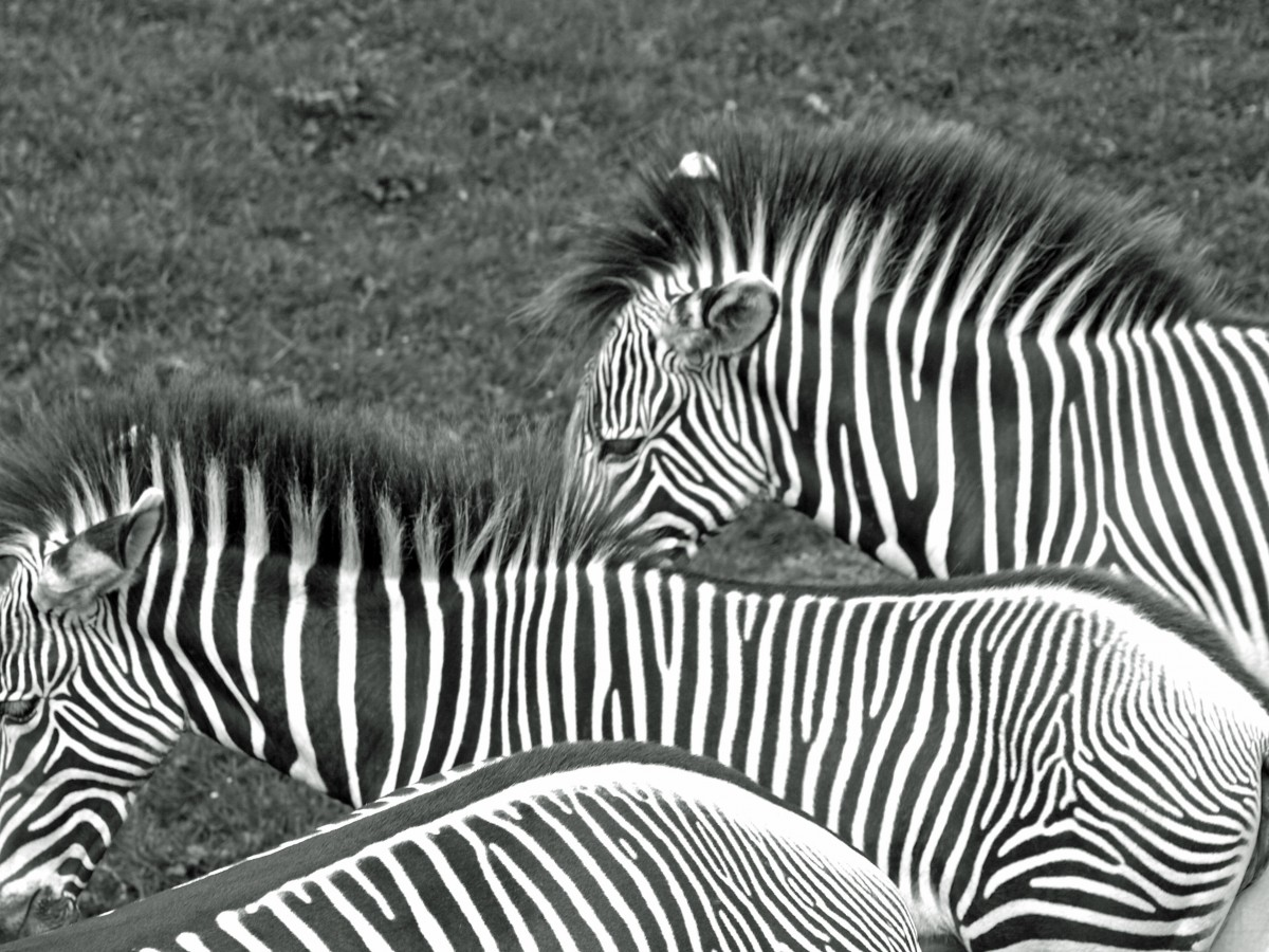 content/images/img-19-20/programme/chapitre-3/zebras_black_and_white_animals_wild_striped_horses-1151337.jpg!d.jpeg